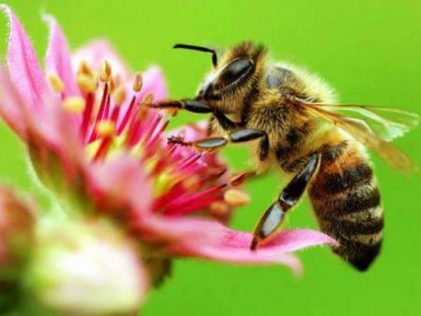 Дослідження показали, що від впливу пестицидів бджоли втрачають пам'ять