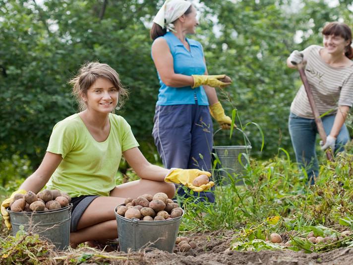 Копання картоплі – один з найкращих способів не потрапити до психлікарні