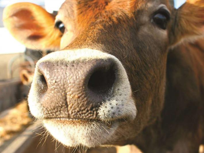 Волинським фермерам дадуть 50 мільйонів гривень дотацій за утримання корів